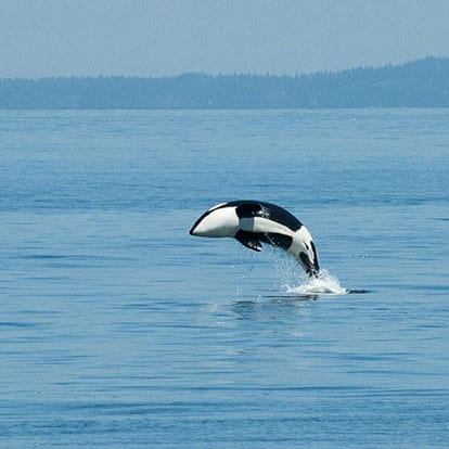 Orca whale jumping in the Puget Sound