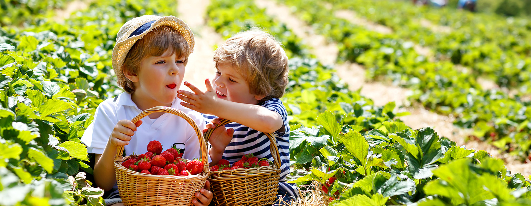 Two kids picking strawberries in field